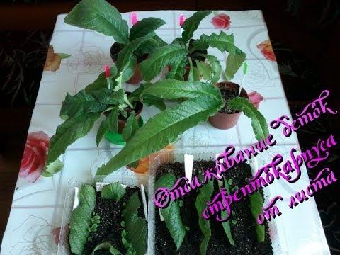 Стрептокарпус выращивание деток 29