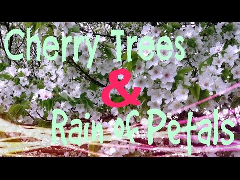 【HD】Enchanted Cherry Trees & Rain of Petals