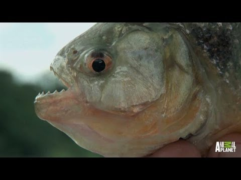 Kevlar, Steel, Human Flesh: Things Piranha Teeth Can Bite Through | River Monsters