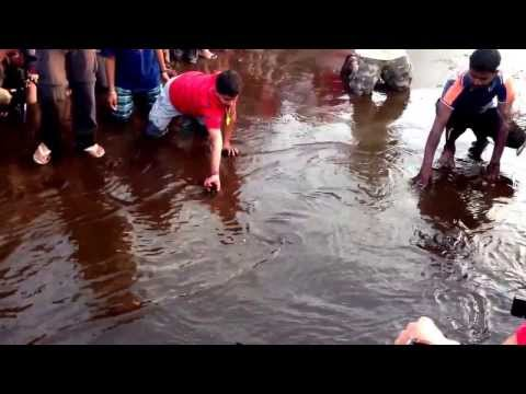 velas turtle festival 2014...d first walk of olive ridley turtles hatchling 2ward sea