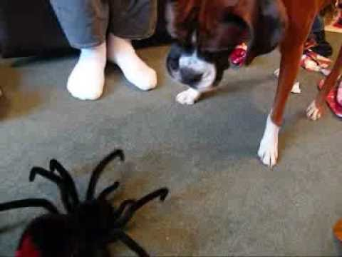 Giant Spider Eating Dog Spider Eats Dog