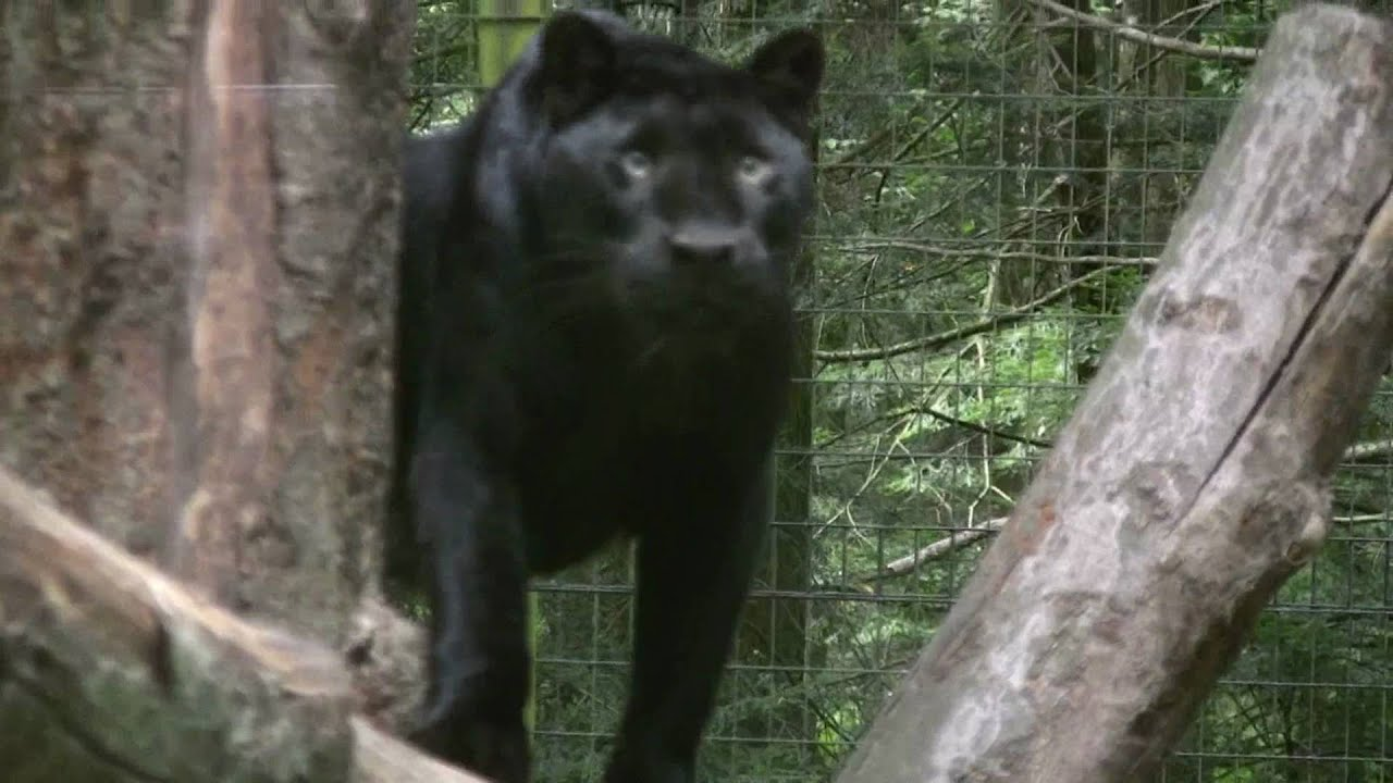 Black Panthers Leopards Jaguars Youtube