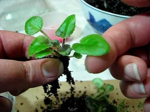 Separating Baby African Violets Started From Leaves