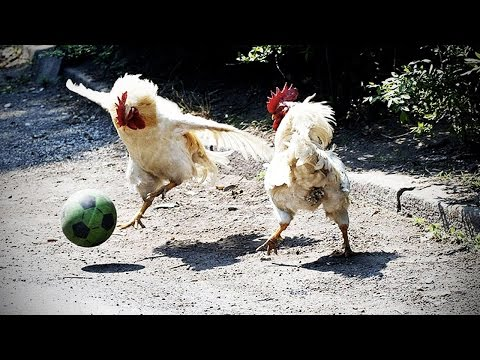 Funny Chicken ★ ULTIMATE Funny CHICKEN Compilation (HD) [Funny Pets]