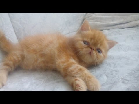 Кузьмич.Экзотический котенок
