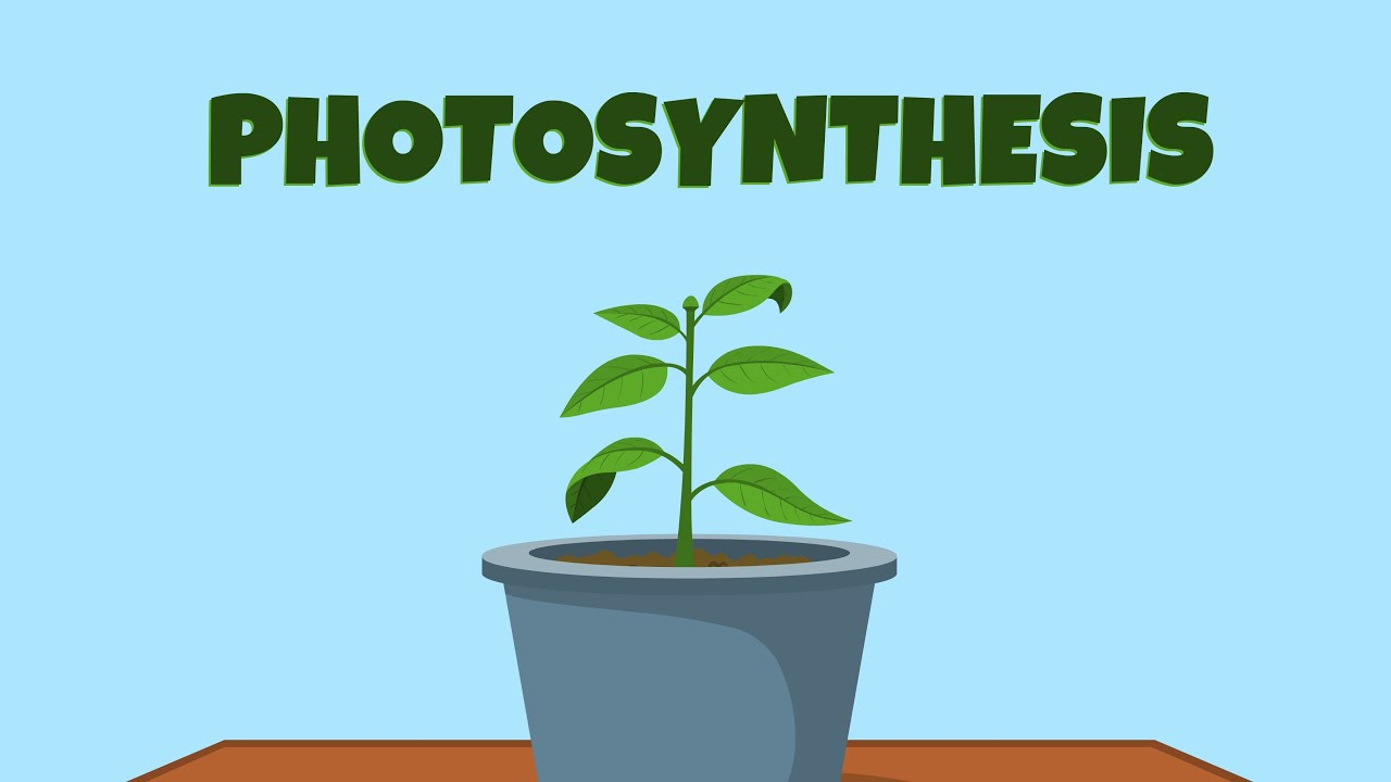 Main photosynthetic pigment of green plants Light and