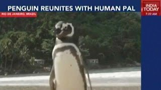 Rescued Penguin Swims 8000 Km Every Year To Meet His Saviour