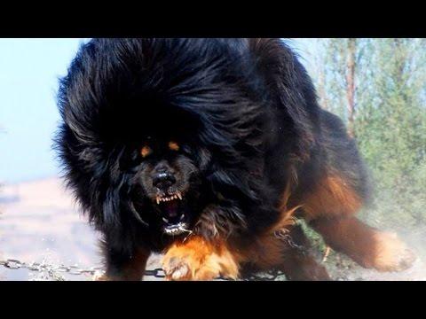 10 самых сильных собак в мире! #2. Кузница Фактов.