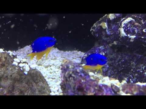 Species Spotlight Season 2 - The Kupang Damsel - Episode 25