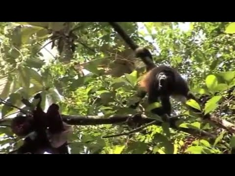 Saving the Howler Monkeys of Panama : Primate Conservation