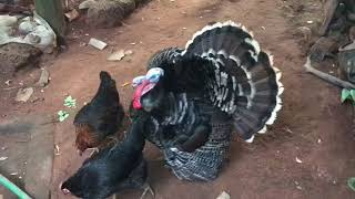 turkey cock and hen
