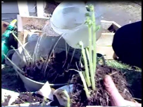 Обновление СОРТА картофеля ростками.