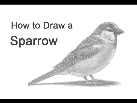 How to Draw a Bird (House Sparrow)