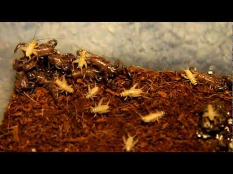 Feeding My Baby Scorpions! At 60 Frames Per Second!