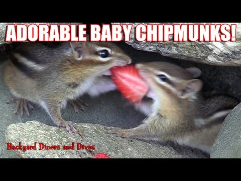 Eastern Chipmunks Eating In Backyard Habitat Baby Animals Loving Tug-o-war Backyard Diners And Dives video
