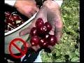• Cherry Harvest: Fruit Handling & Worker Safety (English)