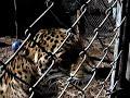 Maya - Jaguar growling