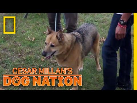 Download Lagu Keeping Roxie Calm in the Car | Cesar Millan's Dog Nation.mp3