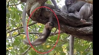 Wildlife Viral : So petty, little monkey fall down deeply from the high tree.