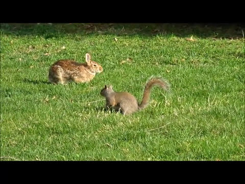 Ardillas Y Conejo Jugando Squirrels and Rabbit Playing
