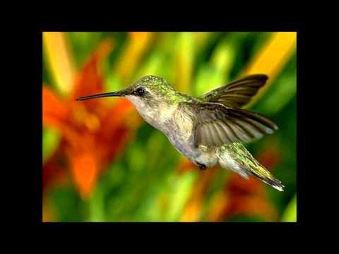 Dengue Fever - Hummingbird