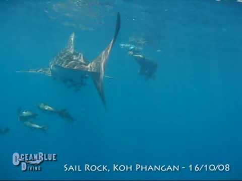 Whale Shark - Sail Rock, Koh Phangan, Thailand