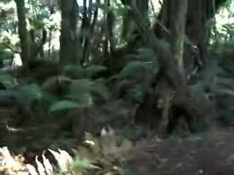 NZ: Forest Walk