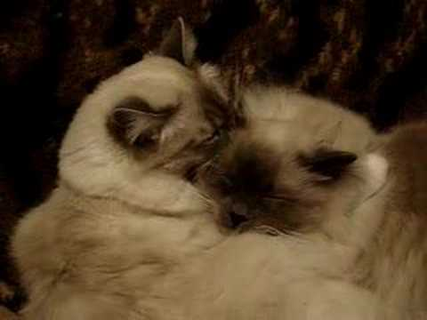 Birman cats Video