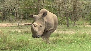 video: Corruption has left poachers free to  kill off the majestic rhino