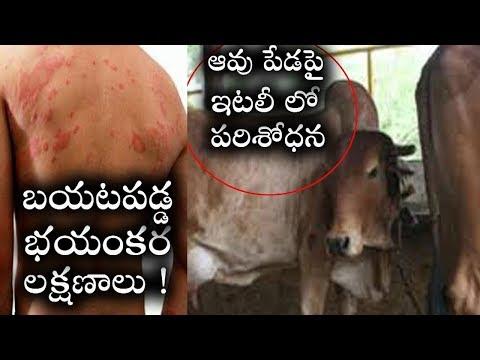 ఇటలీ లో ఆవుపేడపై పరిశోధన చేస్తుండగా బయటపడ్డ భయంకర లక్షణాలు !  Shocking Cow Toilet Virus! Health Mojo