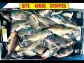 Non-Stop BLACK SEA BASS Fishing - Ocean City, MD (Part 3)