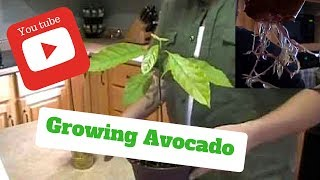 HOW TO GROW AVOCADO TREES FROM SEEDS ON THE FIRST TRY !