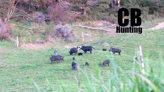 Wild Boar Galore! .243 Shoulder Shot
