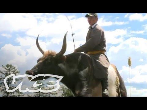 Racing Giant Yaks in Mongolia