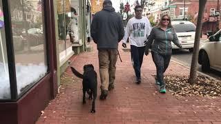6 mo Lab (Jax) Best dog trainers in Virginia