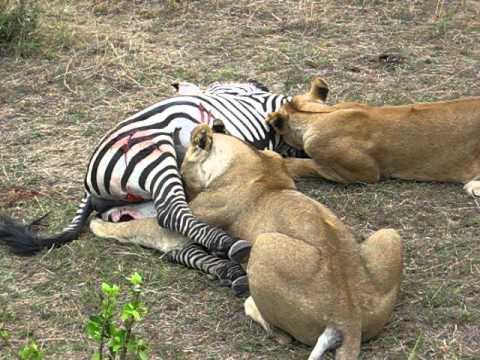 Lion Zebra Love Lions Eating Fresh Zebra