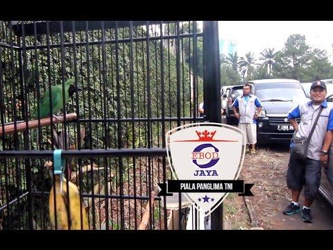 Cucak Ijo Gacor Juara 4 Kali Piala Panglima Tni video