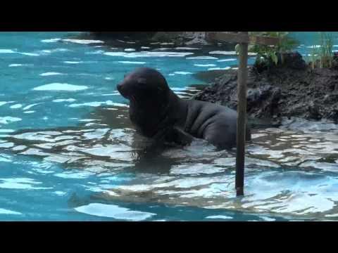 アシカの赤ちゃん 天王寺動物園