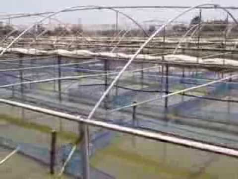 Economic Overwintering System For Nile Tilapia Using Hapas In Earthen Ponds Under Greenhouses