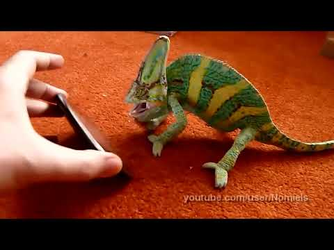 Chameleon was frightened by iphone (what he saw?)