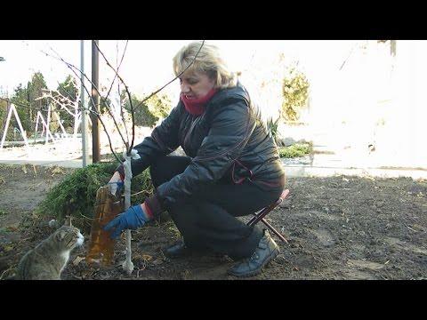 Защита плодовых деревьев и кустарников от морозов – мой способ