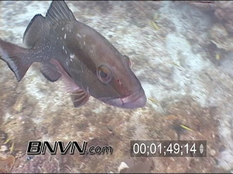 Red Grouper Video stock footage