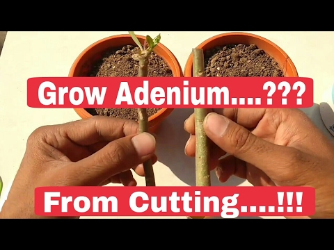 how to grow bougainvillea from cuttings video