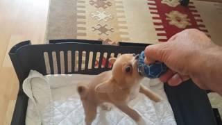 Sevimli Köpek Badi Saladırganlık Halleri  (Dog Chihuahua Buddy Şivava)