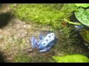 Poison Dart Frogs: Dendrobates Auratus and Azureus