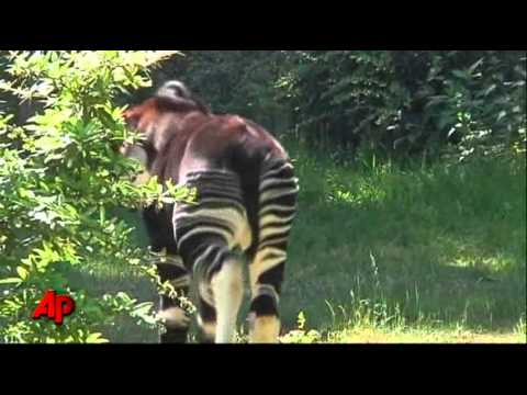 Raw Video: Baby Okapi Greets Public, a First
