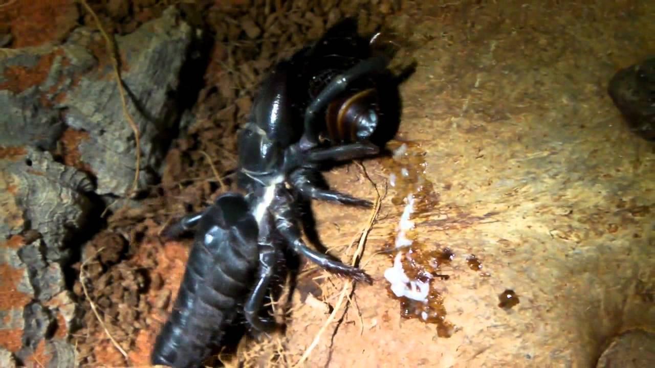 Sand scorpion spider - photo#28