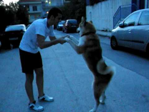 Akita Inu Thessaloniki