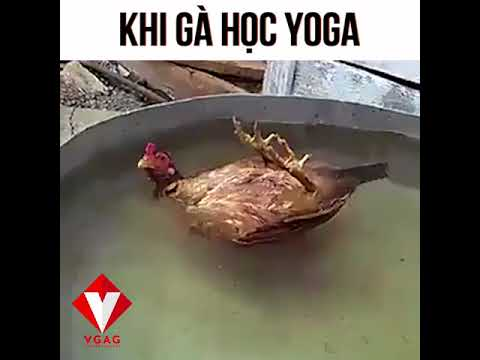 Khi gà học yoga