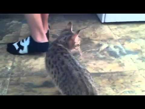 Savannah cats fishing
